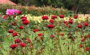 Rózsakerti séták indulnak a hétvégén Eszterházán