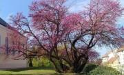 Már lehet szavazni az Európai év fája 2021 verseny jelöltjeire