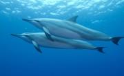 Többé nem lehet delfinekkel úszni Hawaiin