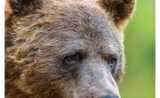 Farkas, medve, hiúz - gyakorlati kézikönyvek nagyragadozókhoz