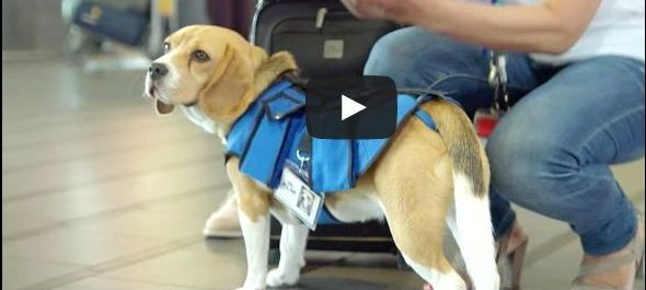 Sherlock a KLM utasainak új kedvence -VIDEÓVAL