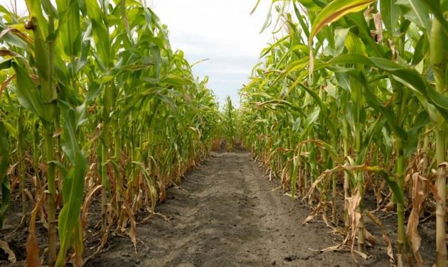 Tizedjére készült kukorica-útvesztő Kiszombor határában