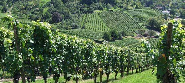Közepes szőlőtermés várható, a minőség még javulhat