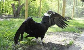 Andoki kondorkeselyű a Nyíregyházi Állatparkban