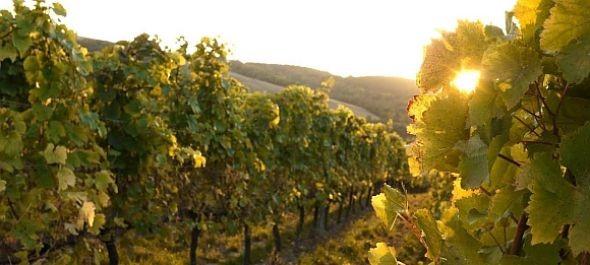 Gyümölcsös és izgalmas évjárat – szüreteltek Bécs legkisebb szőlőbirtokán