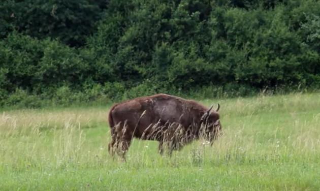 Európai bölényeket telepítettek az Őrségbe