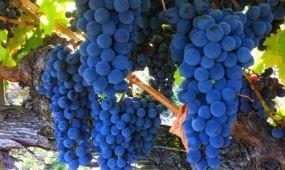 Jó minőségű a villányi cabernet franc szőlőültetvények termése