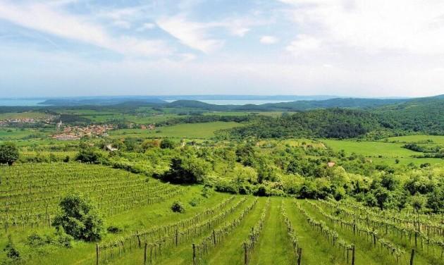 Veszélyben a Balaton északi partjának szőlői?