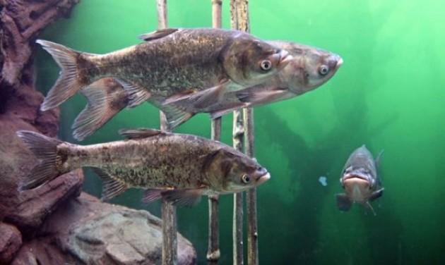 Balatoni és tengeri halak bemutatóhelye nyílt Balatonfüreden