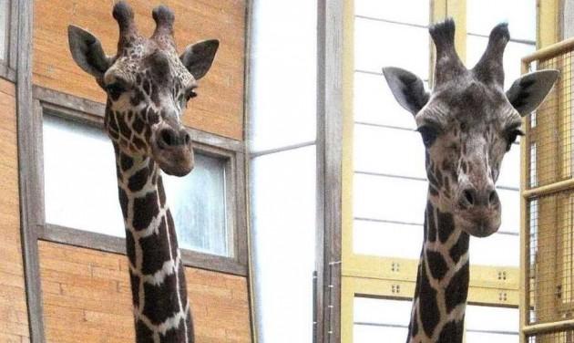 Napelemes télikertet és vakarófát kapnak a bécsi zsiráfok