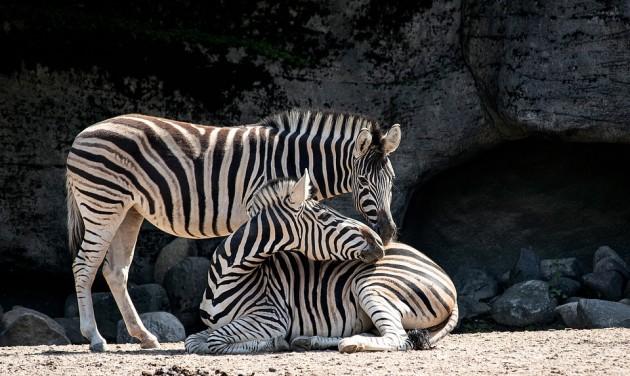 Európai díjra jelölik az állatkert közönségprogramját