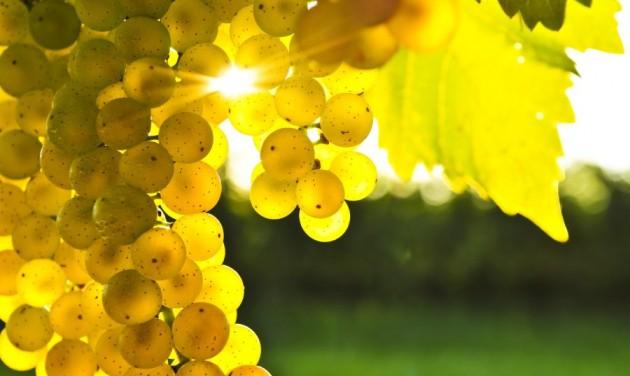 Stabilizálnák a szőlőtermelők jövedelemszintjét