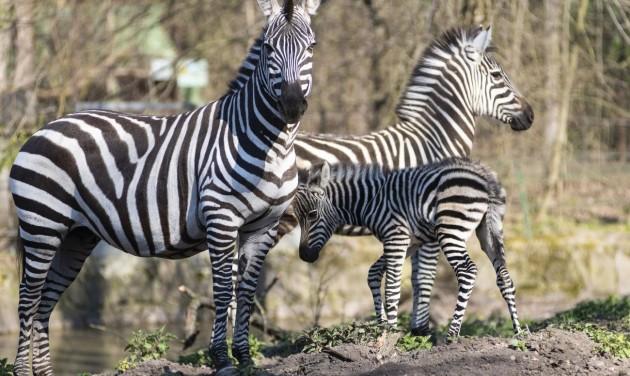Zebracsikó született Nyíregyházán – segítő jegyet árul a zoo