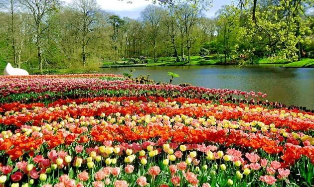 Több millió tulipán a világ legnagyobb virágoskertjében