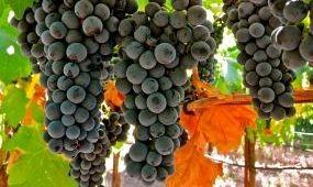 Kóstoljon portugieser borokat Pécsett!