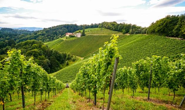 Kiemelkedő minőségű bortermés várható