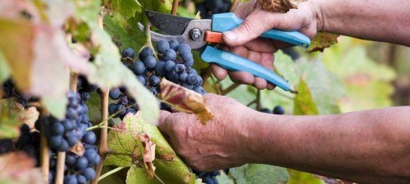 Jó minőségű, de a tavalyinál kevesebb szőlő termett az idén Villányban