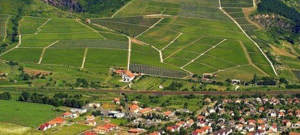 Bizakodnak a szőlőtelepítők, fejlesztik a Tokaj-hegyaljai szőlőfajtákat