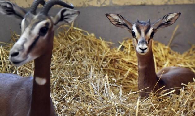 Különleges gazellagidák láthatók a budapesti állatkertben