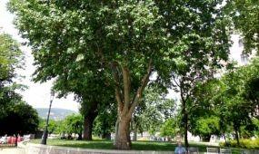 Radnóti is hűsölt egykor az Év Fája árnyékában
