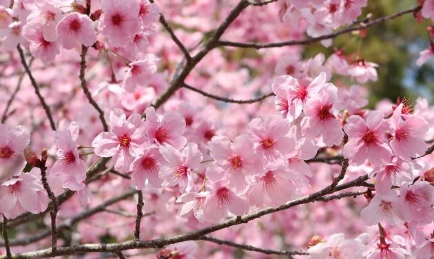 A cseresznyevirágzást ünneplik egy borsodi faluban