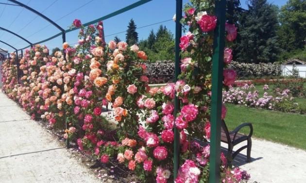 Megnyitott a fertődi Esterházy-kastély rózsakertje
