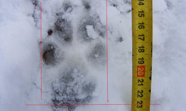 Farkasnyomot találtak a Börzsönyben