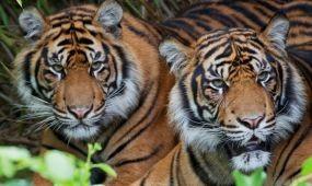 Bhután és Banglades is közzétette tigriseinek számát