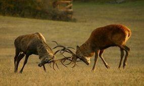 Szarvasbőgés-túrák és szakvezetések a Pilisben
