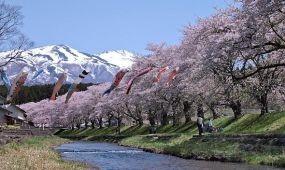 Japánban hivatalosan is elkezdődött a cseresznyefavirágzás