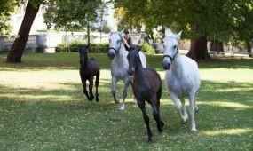 Ingyen láthatók a bécsi Spanyol Lovasiskola lipicaijai