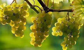 A szeszélyes időjárás csökkentheti az idei borszőlőtermést