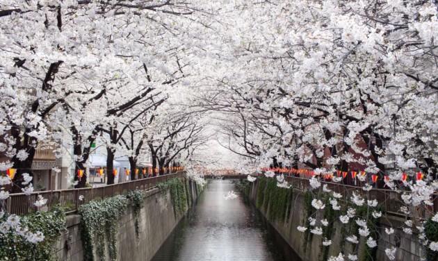 Egyre népszerűbb a cseresznyevirágzás