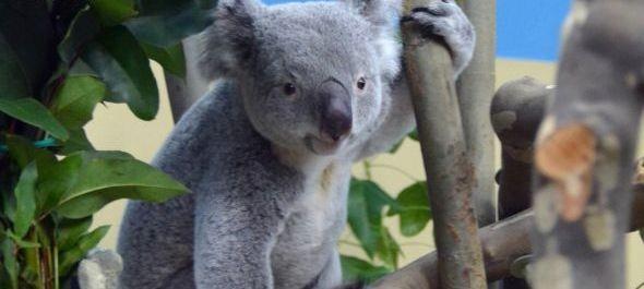 Péntektől láthatók a koalák az Állatkertben