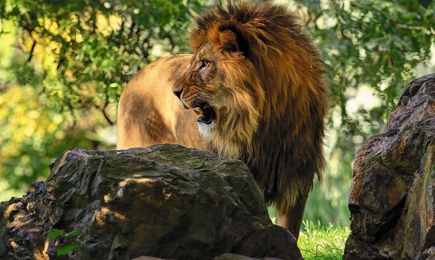Élnek még berber oroszlánok!