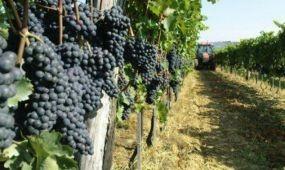 Nagyon jó minőségű a szőlő a villányi borvidéken