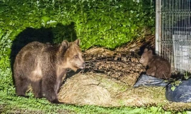 Kilövik a tusnádfürdői medvéket