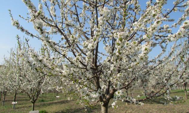 A falu, ahol tízezer cseresznyefa virágzik